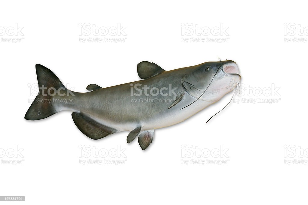 Catfish with Clipping Path stock photo