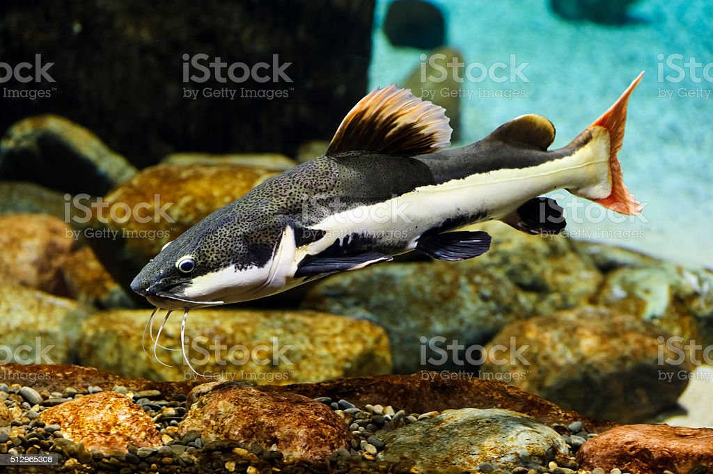 Catfish with red fins stock photo