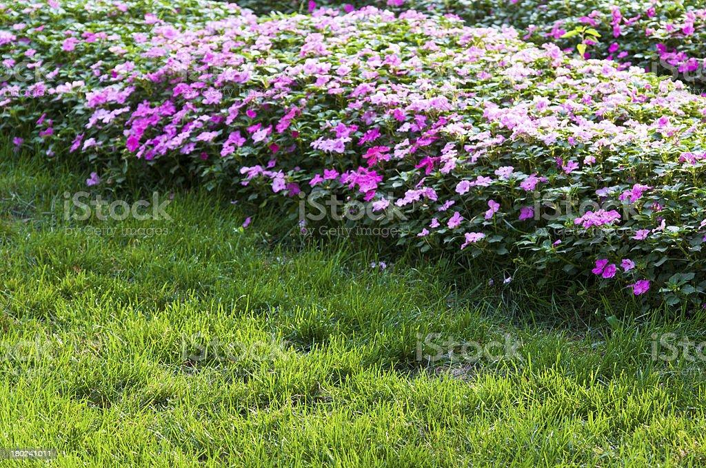 catharanthus royalty-free stock photo