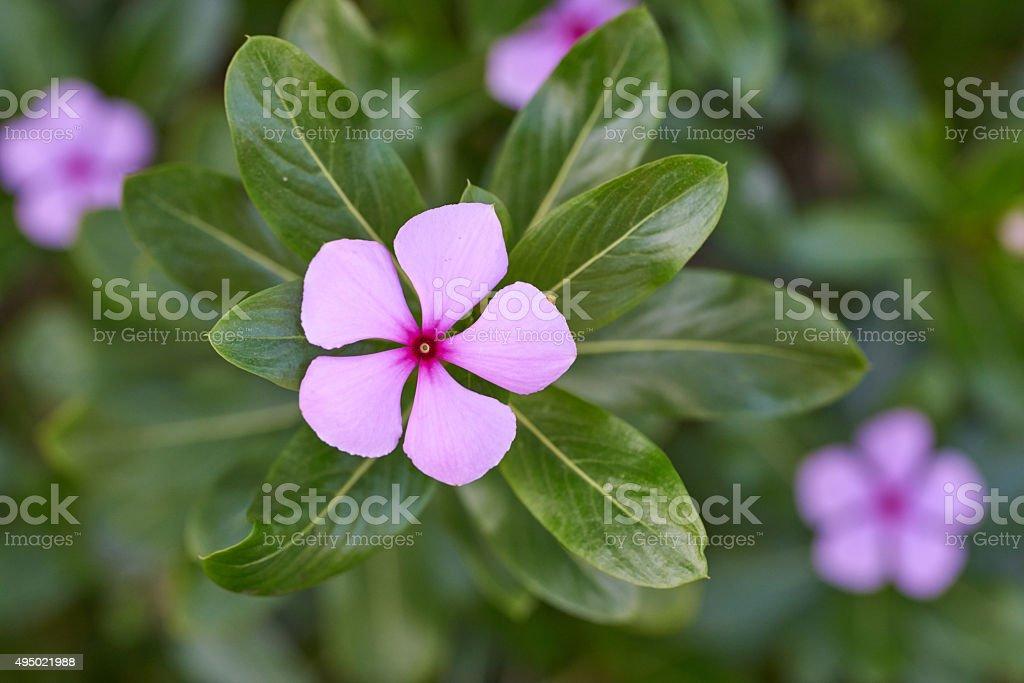 Catharanthus Roseus, flower stock photo