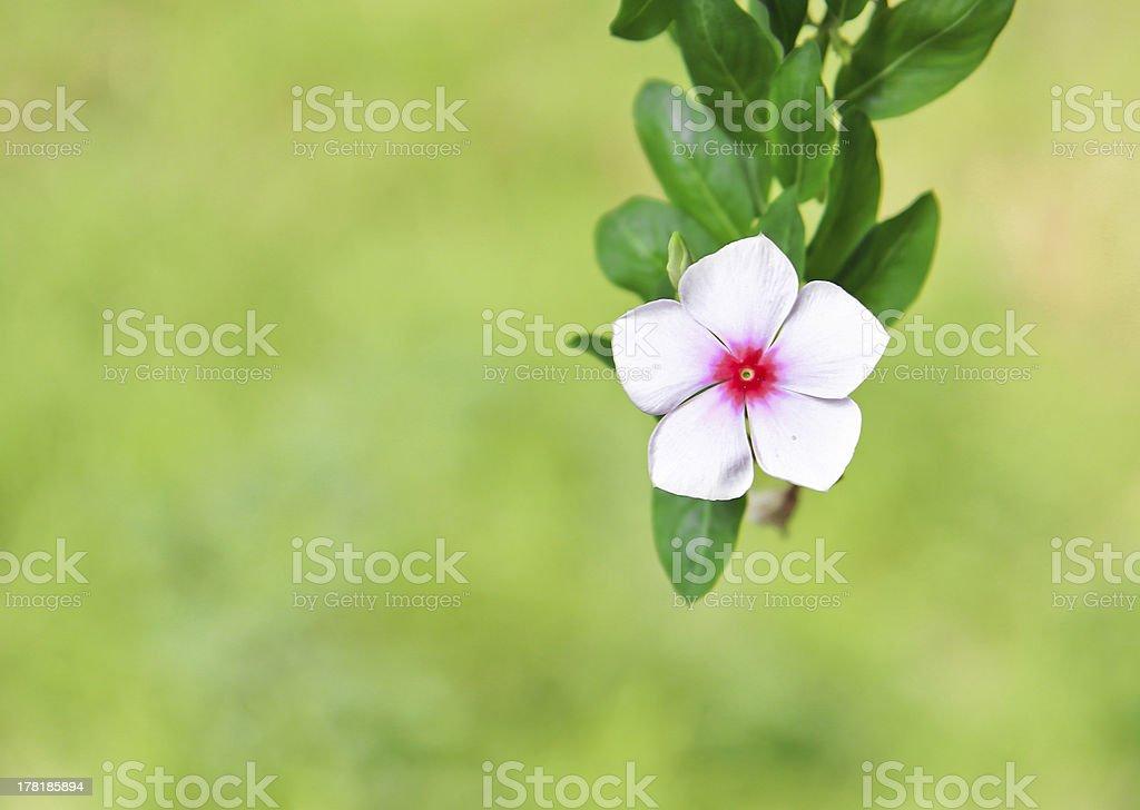 Catharanthus roseus G. Don.(Madagascar periwinkle, Vinca,Old mai royalty-free stock photo