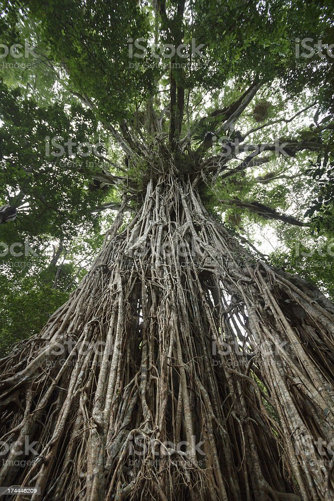 Cathedral Fig stock photo