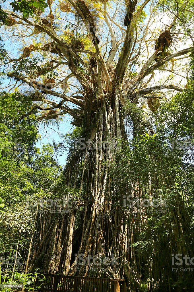 Cathedral fig tree, queensland, Australia stock photo