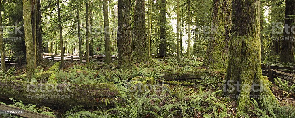 Cathedral grove forest royalty-free stock photo