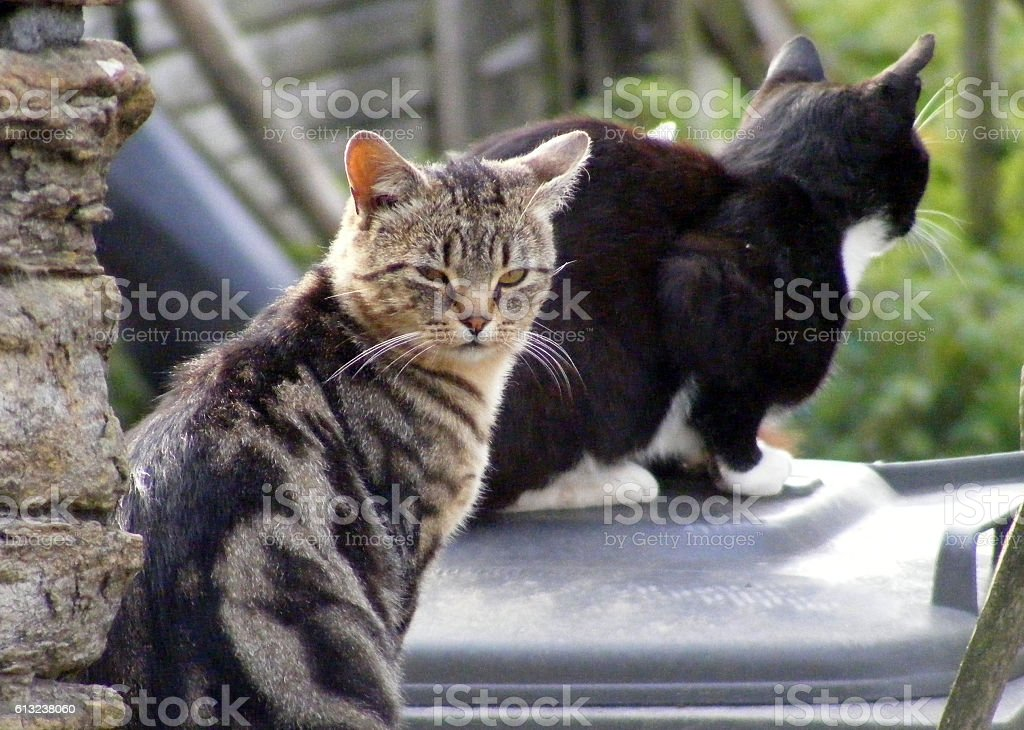 Catitude feral cats in a yard stock photo