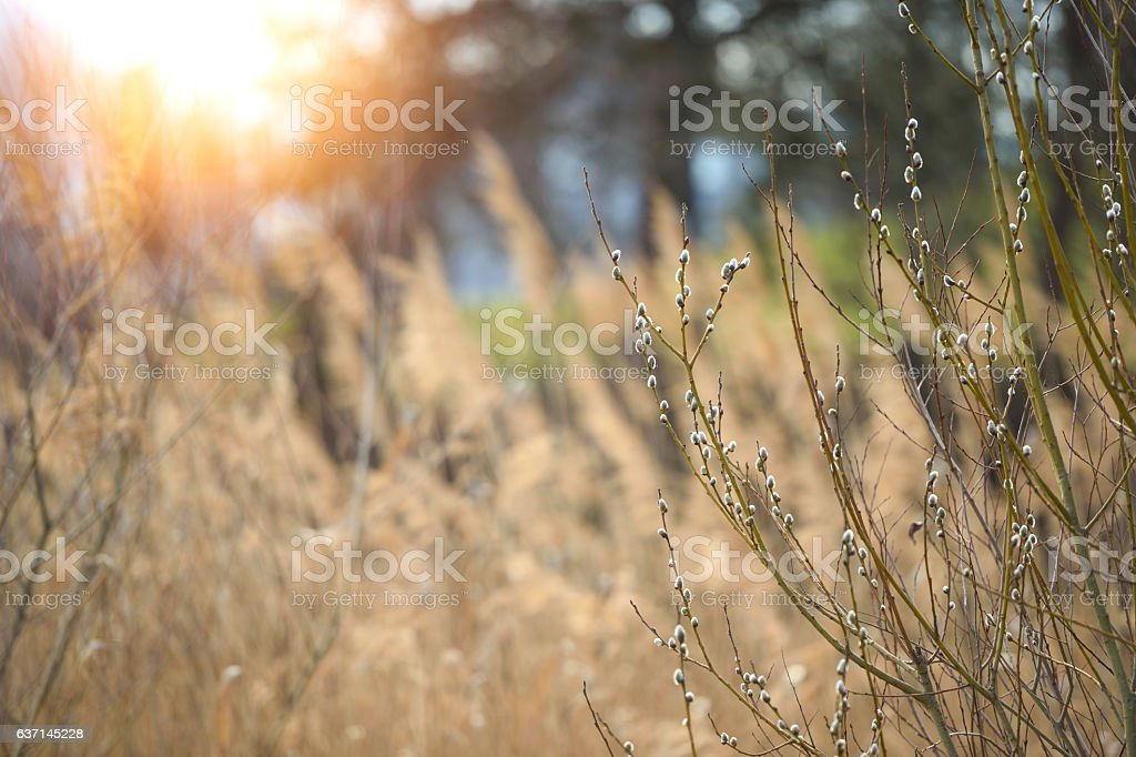 Catkin branches in early spring stock photo