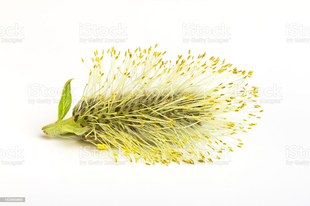 catkin royalty-free stock photo