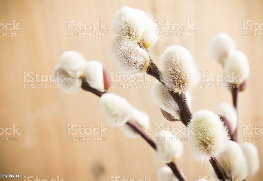 Catkins. royalty-free stock photo