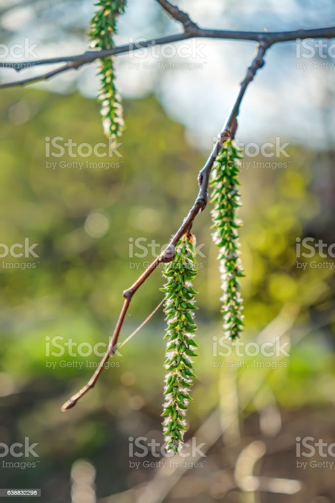Catkins poplar undiscovered in spring stock photo