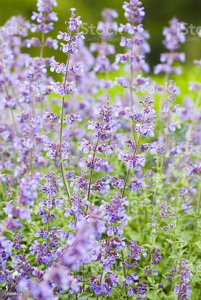 Catmint / Catnip, Nepeta racemosa 'Walker's Low' - VI stock photo