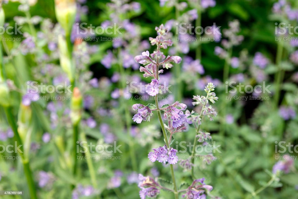 Catmint stock photo