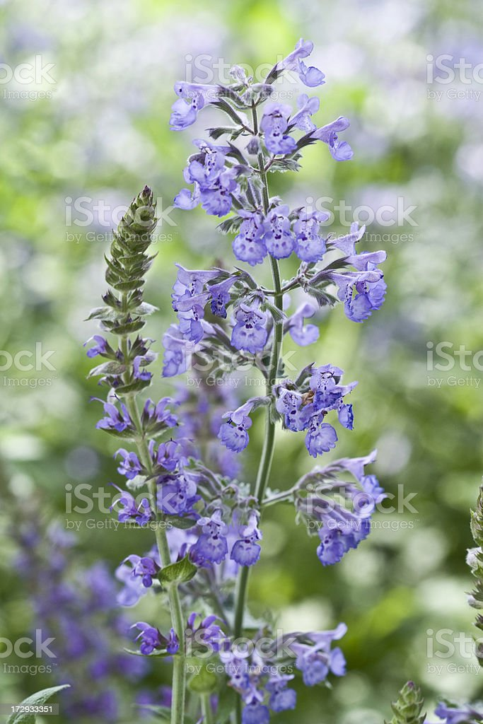 Catmint series stock photo