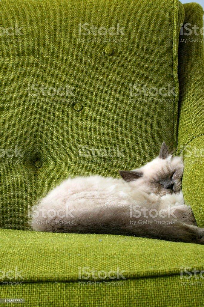 Catnap Himalayan Kitten royalty-free stock photo