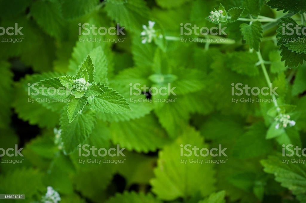 Catnip Flower Macro stock photo