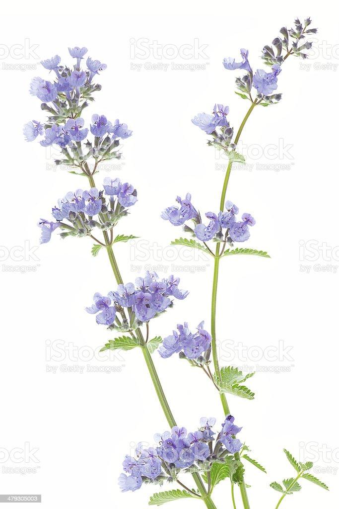Catnip flowers (Nepeta cataria) stock photo