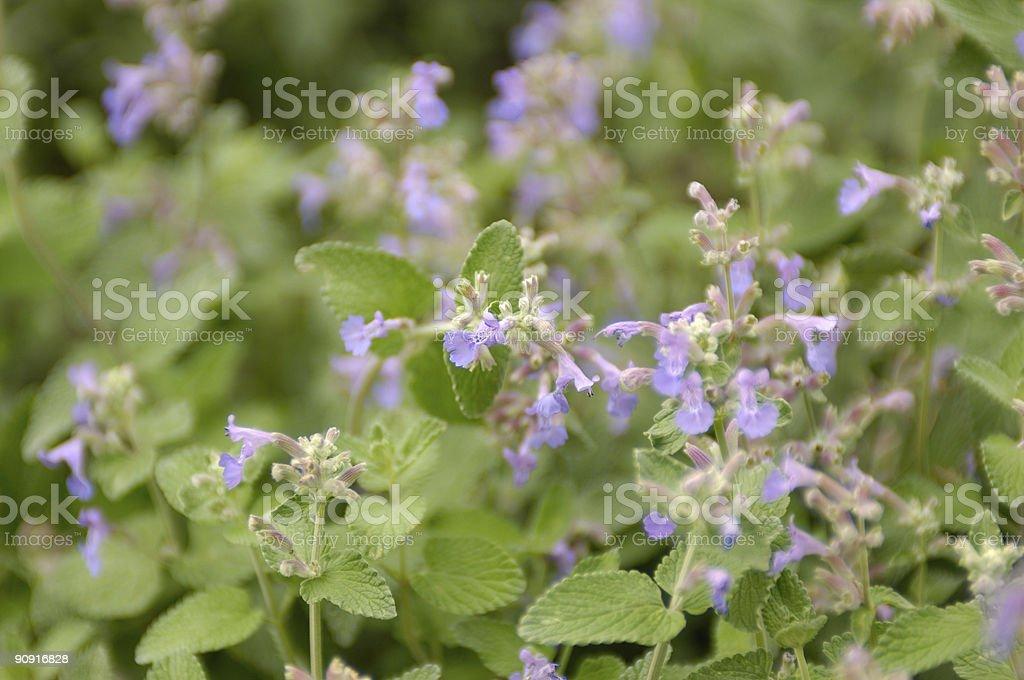Catnip (nepeta cataria) stock photo