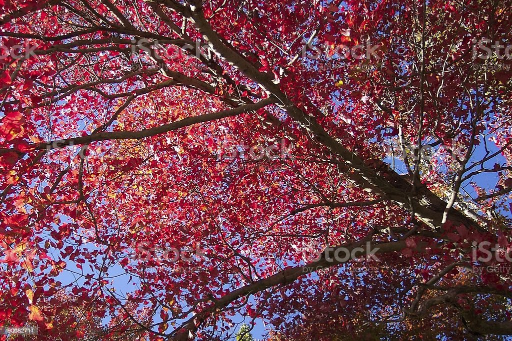 Catoctin Forest Maple stock photo