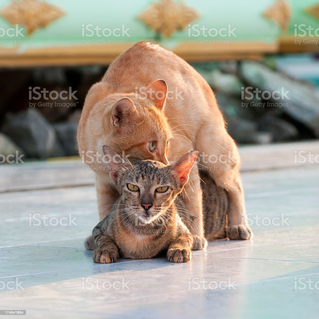 Cats and reproduction royalty-free stock photo