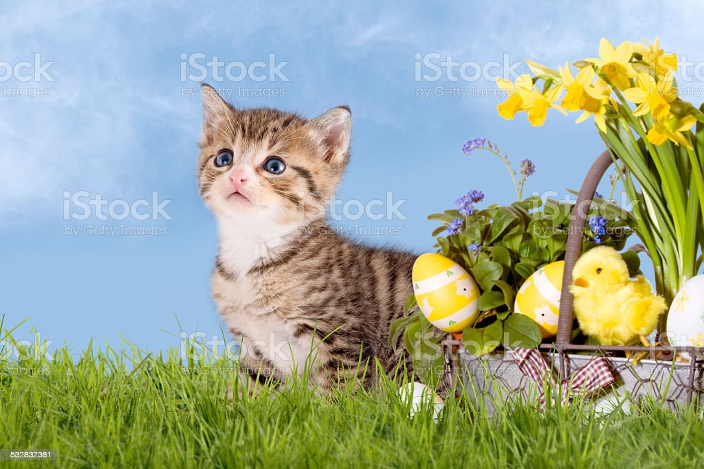 Cats, Easter, with daffodils on grass stock photo