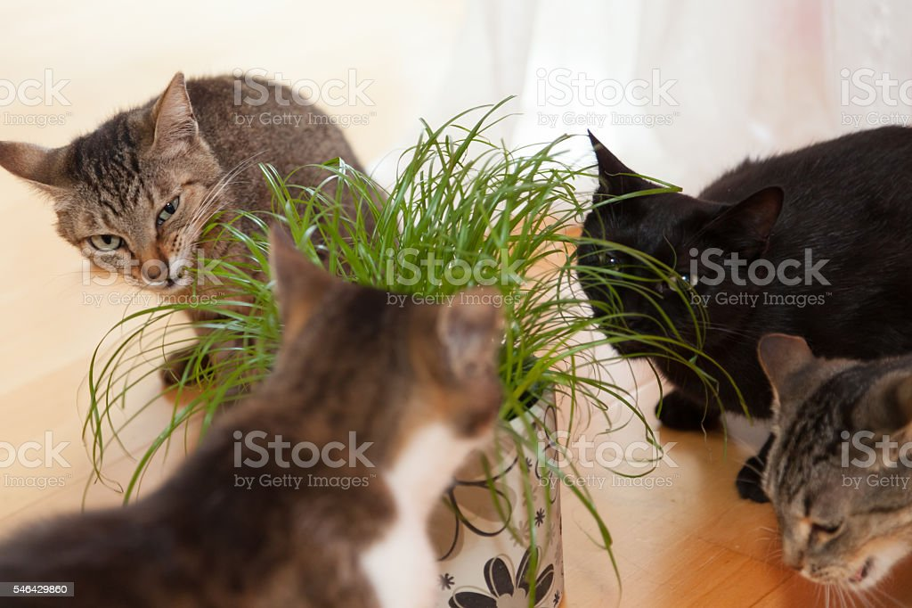 cats eating grass stock photo