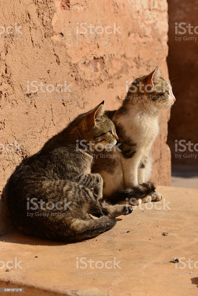 Cats, El Badi ruins, Marrakech, Morocco, Africa. stock photo