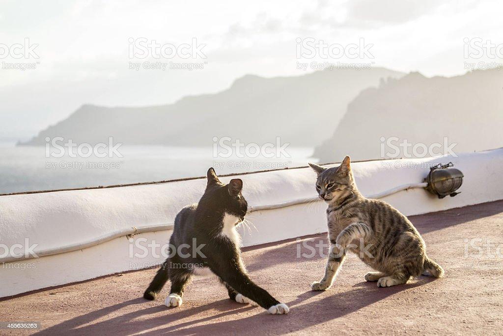 Cats in santorini stock photo