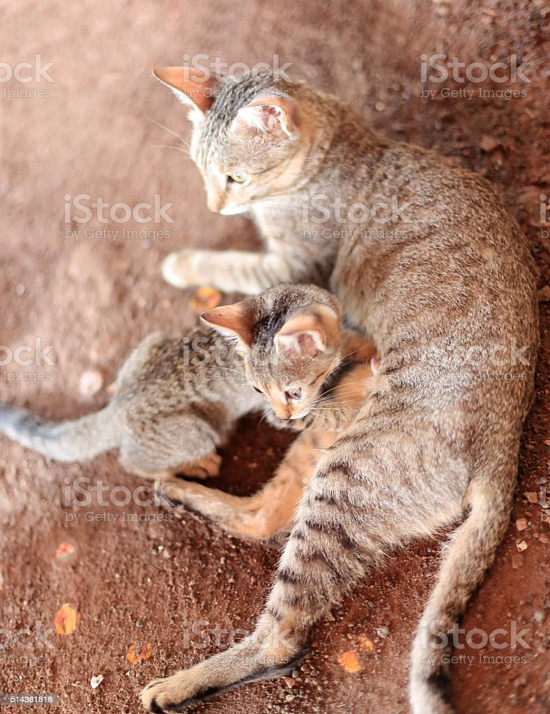 Cats -mother and kitten- on the dirt floor. Afrera-Ethiopia. 0181 stock photo