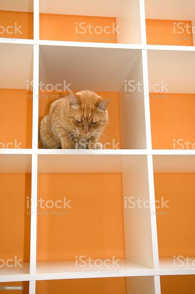 Cat's New Home, Shelves, Orange Wall royalty-free stock photo