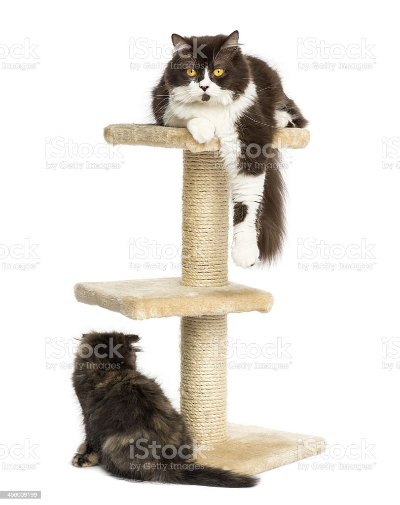 Cats on a cat tree, isolated stock photo