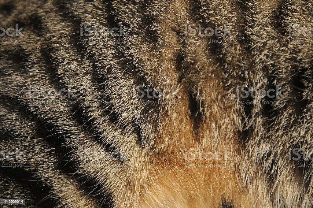 Cat's orange belly stock photo