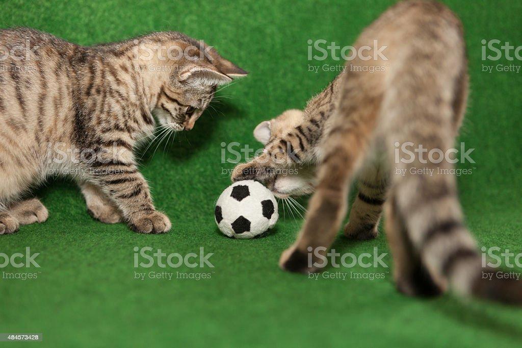 cats  play soccer stock photo