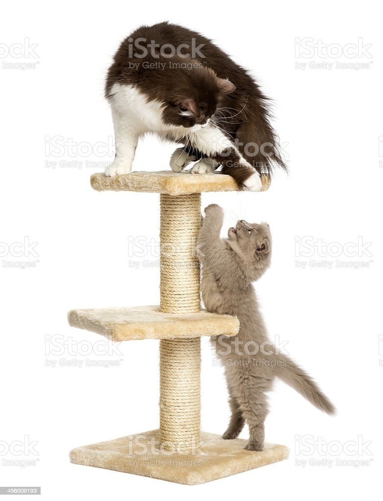 Cats playing on a cat tree, isolated stock photo