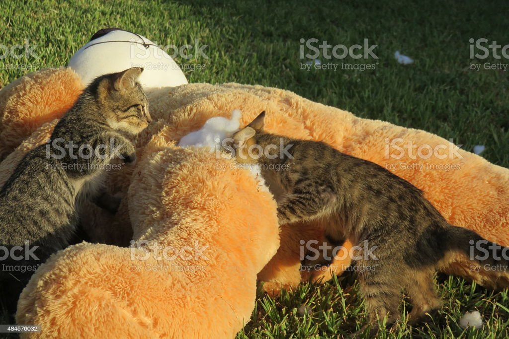 Cats playing stock photo