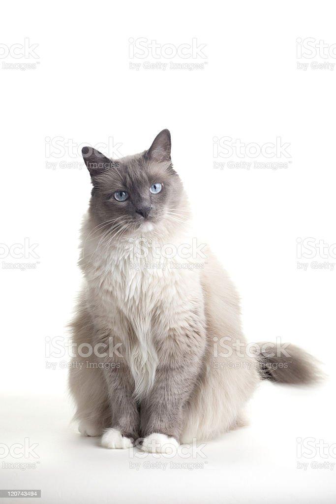 Cats series - ragdoll stock photo