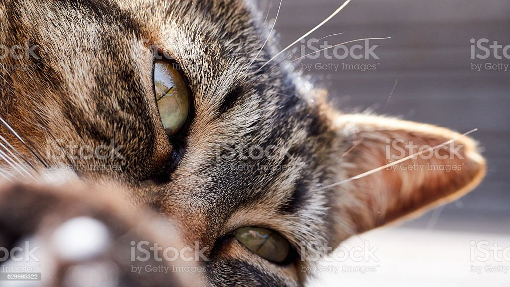 Cats with a golden feline look stock photo