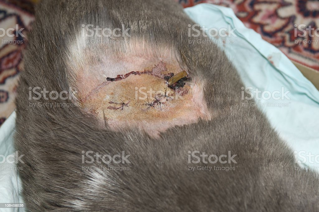 Cat's Wound After Surgery royalty-free stock photo
