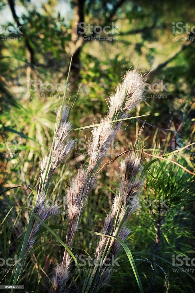Cat'sTail Marsh Grass Detail Effect stock photo