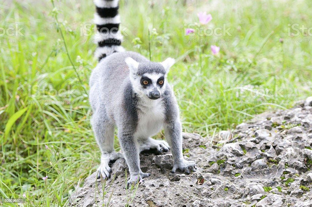 catta lemur on a stone heap stock photo