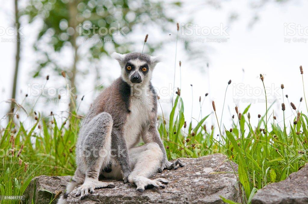 catta lemur sitting on a stone stock photo