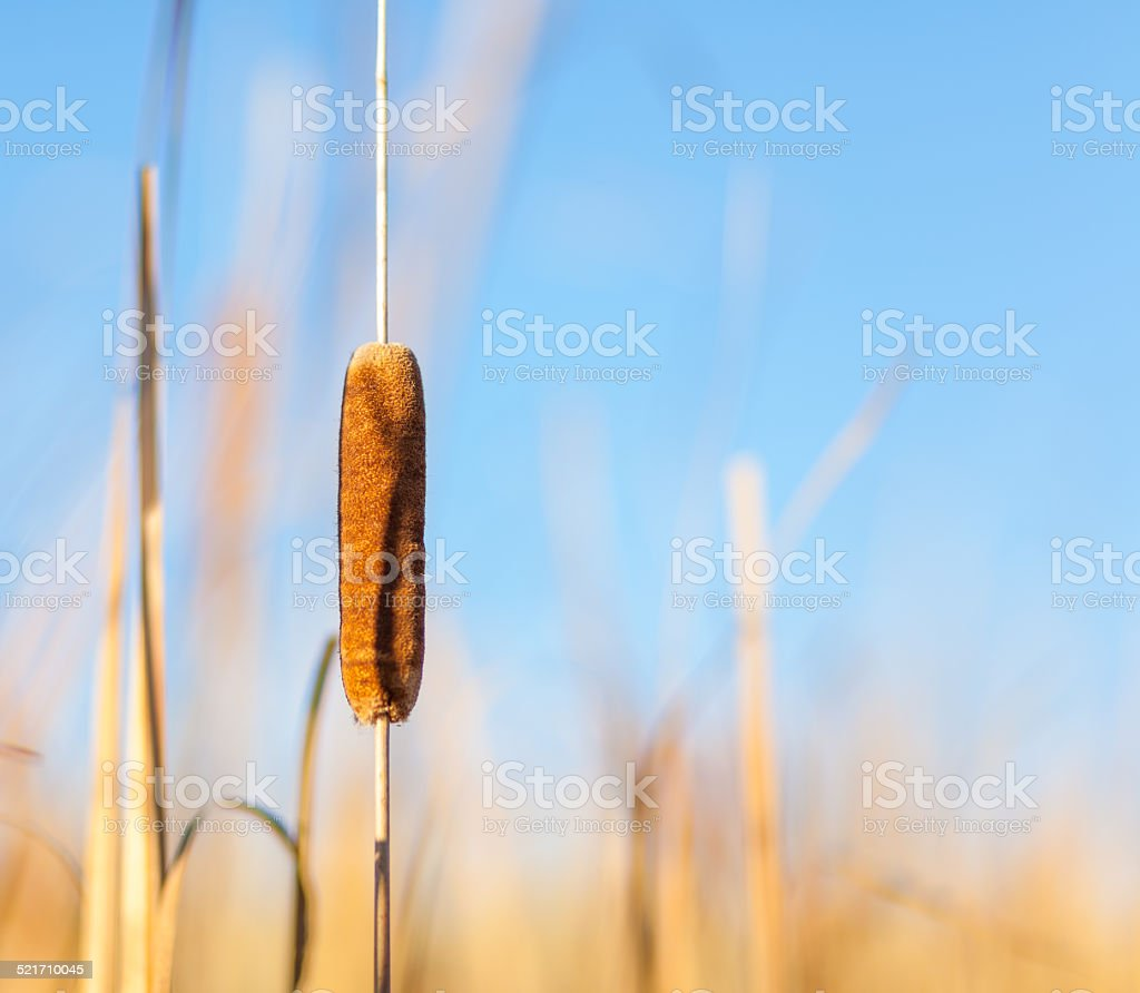 Cattail and Reeds at Sunset stock photo