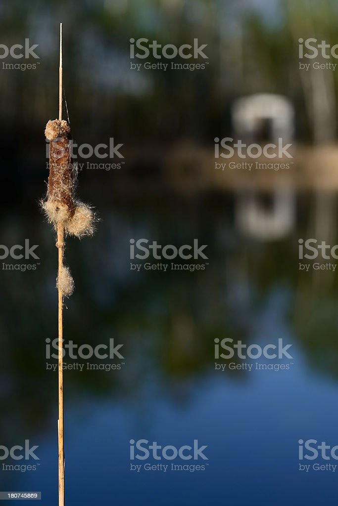 Cattail royalty-free stock photo