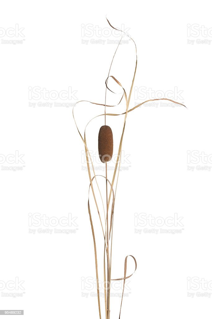 Cattail stock photo