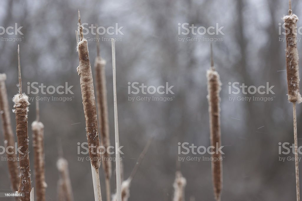 cattail reeds royalty-free stock photo