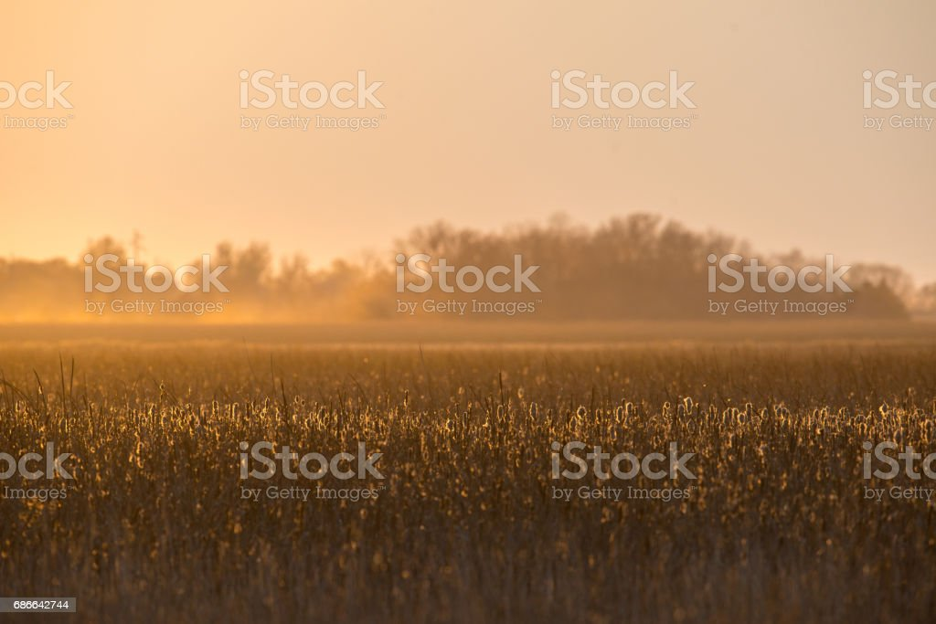 Cattail Sunset stock photo