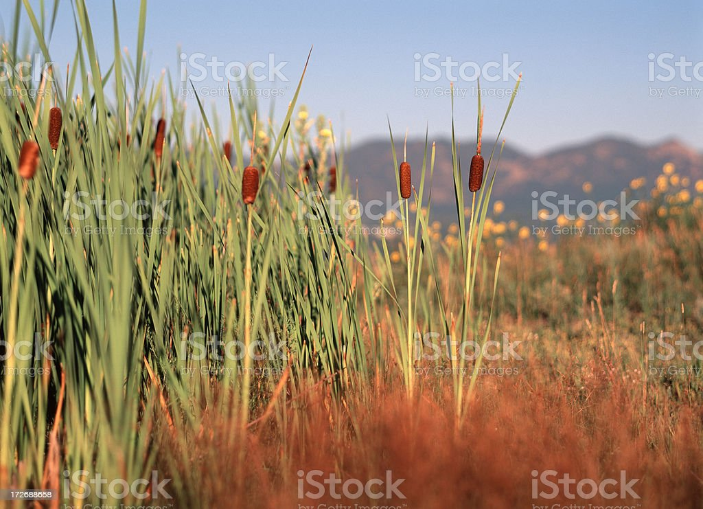 Cattails and Wild Flowers royalty-free stock photo