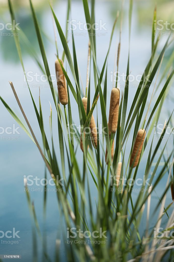 Cattails by the cool blue water. stock photo