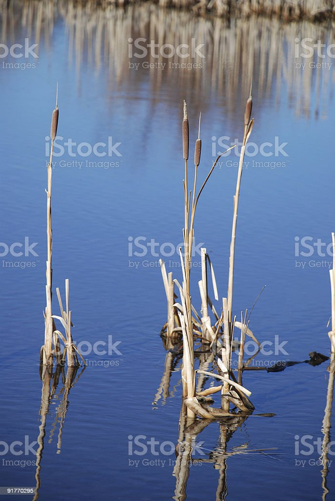 Cattails in a Pond royalty-free stock photo