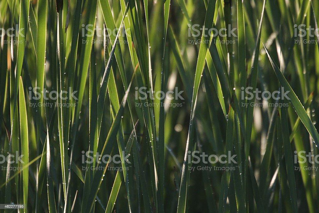Cattails stock photo