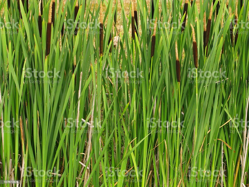 Cattails Reeds Typha Plant royalty-free stock photo