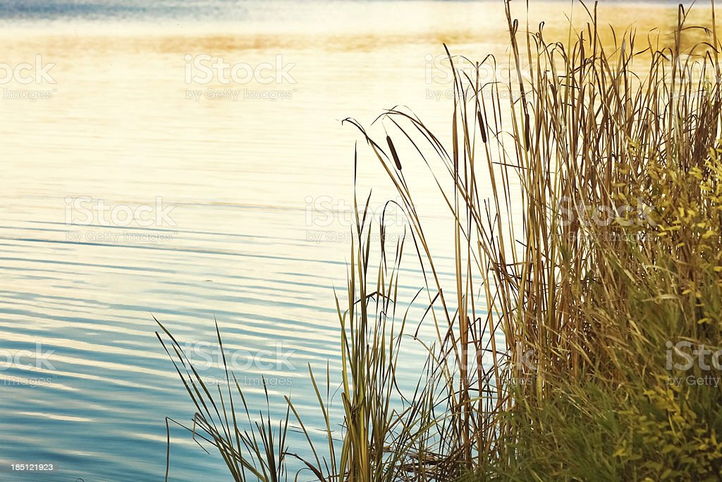 Cattails Shore Water Nature stock photo